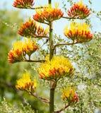 Tallo de flor grande del agavo imágenes de archivo libres de regalías