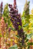 Tallo de la quinoa Foto de archivo