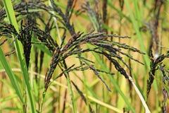 Tallo del arroz con los granos Imagen de archivo libre de regalías