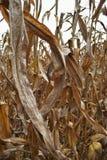 Tallo del maíz Imagenes de archivo