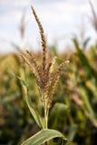 Tallo del maíz Imagen de archivo