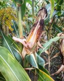 Tallo del maíz Foto de archivo libre de regalías