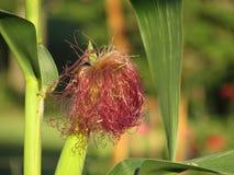 Tallo del maíz con el primer de la borla/de la seda rojas Imágenes de archivo libres de regalías