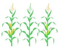 Tallo del maíz Maíz aislado en el fondo blanco Imagenes de archivo