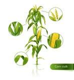 Tallo del maíz. Foto de archivo