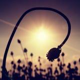 Tallo doblado de la semilla de amapola Campo de la tarde de las cabezas de la amapola Las flores secas están esperando la cosecha Imágenes de archivo libres de regalías