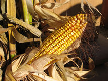 Tallo maduro del maíz Fotos de archivo libres de regalías