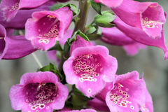 Tallo o digital de flor de la dedalera Fotografía de archivo libre de regalías