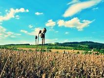 Tallo seco largo de la semilla de amapola Campo de la tarde de las cabezas de la amapola Imágenes de archivo libres de regalías