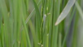 Tallo verde del trigo en fondo borroso almacen de metraje de vídeo