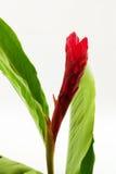 Tallo y flor del lirio del jengibre Imagen de archivo