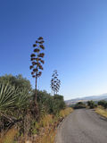 Tallo y flowerheads secos del agavo Fotografía de archivo