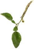 Tallo y hojas del pomelo en el fondo blanco aislado Foto de archivo libre de regalías