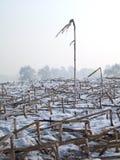 Tallo y nieve del maíz Imagen de archivo libre de regalías
