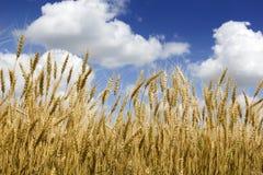 Tallos amarillos de oro brillantes del trigo debajo del cielo azul y de las nubes profundos Imágenes de archivo libres de regalías