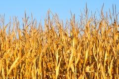 Tallos amarillos de oro del maíz Imágenes de archivo libres de regalías