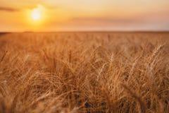 Tallos amarillos orgánicos maduros del trigo en el campo en el campo en verano tardío imagen de archivo