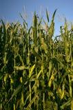 Tallos crecientes del maíz Foto de archivo libre de regalías