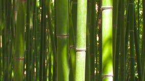 Tallos de bambú almacen de metraje de vídeo
