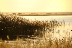 Tallos de lámina en el pantano imágenes de archivo libres de regalías