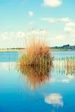 Tallos de lámina miserables en el lago fotos de archivo libres de regalías