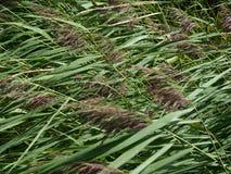 Tallos de la caña que doblan en el viento, 2 foto de archivo libre de regalías