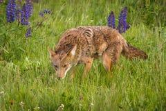 Tallos de los latrans del Canis del coyote adelante a través de hierbas Foto de archivo