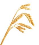 Tallos de los oídos del trigo Imagen de archivo libre de regalías