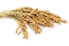 Tallos del arroz Imagen de archivo libre de regalías