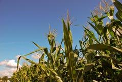 Tallos del maíz Foto de archivo libre de regalías