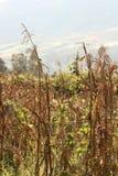Tallos del maíz Fotografía de archivo