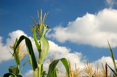 Tallos del maíz Imagenes de archivo