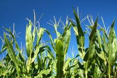Tallos del maíz fotos de archivo