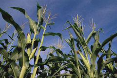 Tallos del maíz de debajo Imágenes de archivo libres de regalías
