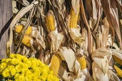 Tallos del maíz de la acción de gracias Foto de archivo libre de regalías