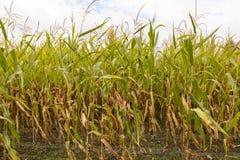 Tallos del maíz en el sol de la tarde Fotos de archivo libres de regalías