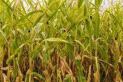 Tallos del maíz en el sol de la tarde Foto de archivo