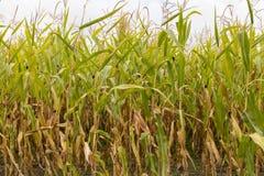 Tallos del maíz en el sol de la tarde Imagen de archivo