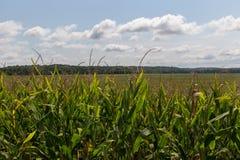 Tallos del maíz en el sol de la tarde Fotos de archivo