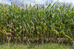 Tallos del maíz en el sol de la tarde Imagenes de archivo