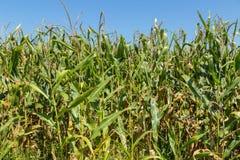 Tallos del maíz en el sol de la tarde Imagen de archivo libre de regalías