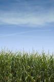 Tallos del maíz en Iowa Fotos de archivo libres de regalías