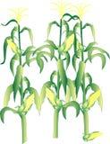 Tallos del maíz en la mazorca