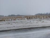 Tallos del maíz en la nieve el 8 de enero de 2018 Imagenes de archivo