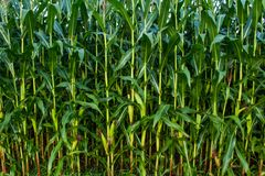 Tallos del maíz verde fotografía de archivo libre de regalías