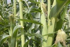 Tallos del maíz y maíz en un jardín Imágenes de archivo libres de regalías