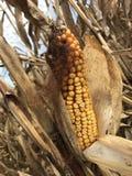 Tallos del maíz delante de un cielo azul Imágenes de archivo libres de regalías