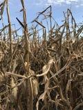 Tallos del maíz delante de un cielo azul Fotos de archivo