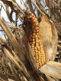Tallos del maíz delante de un cielo azul Imagenes de archivo