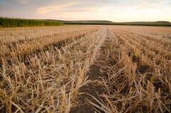 Tallos del rastrojo y del maíz del grano en campo Imagen de archivo libre de regalías